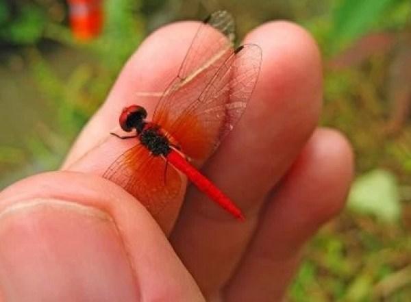 Scarlet Dwarf - Nannophya pygmaea