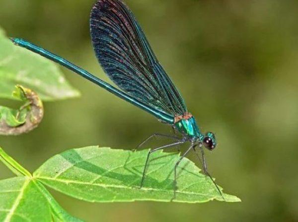 The Beautiful Demoiselle - Calopteryx virgo