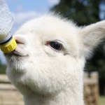 Top 10 Images of Animals Being Bottle Fed