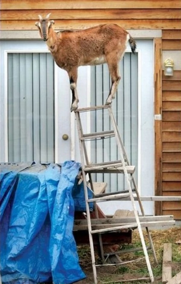 Goat On Stepladder