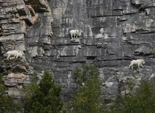 Mountain Goats Climbing a mountain