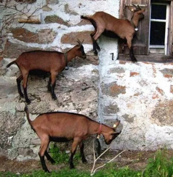 Goats Climbing wall outside window