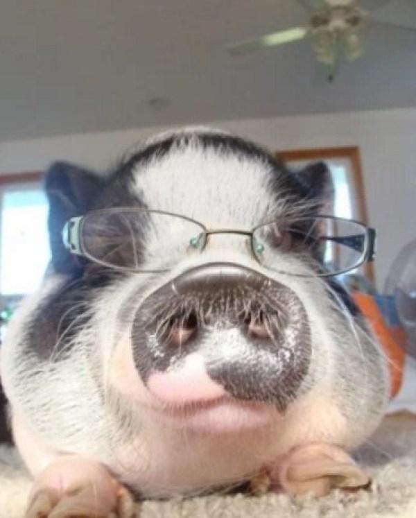 Pig Wearing Glasses