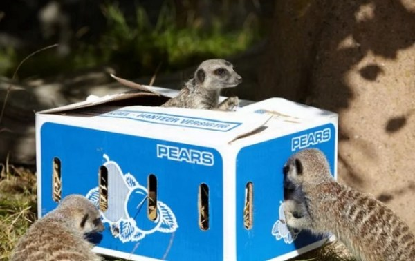 Meerkat in Box