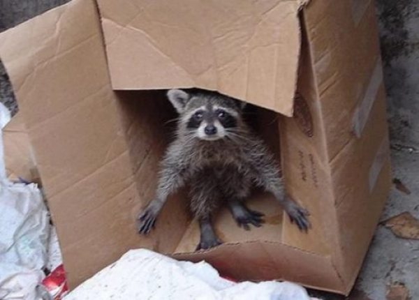Raccoon in Box