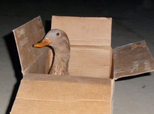 Duck in Box