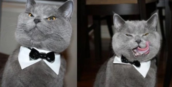 Cat Wearing a Black Bow Tie