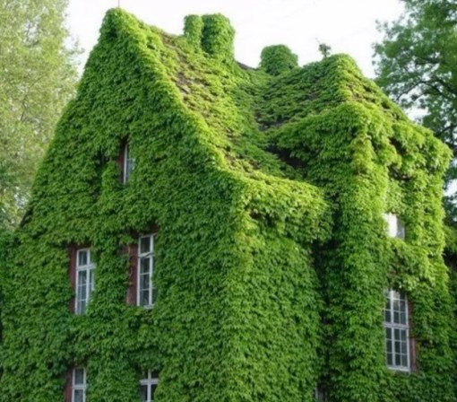 House covered in Japanese creeper vine