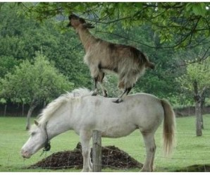 Top 10 Best Images of Climbing Goats