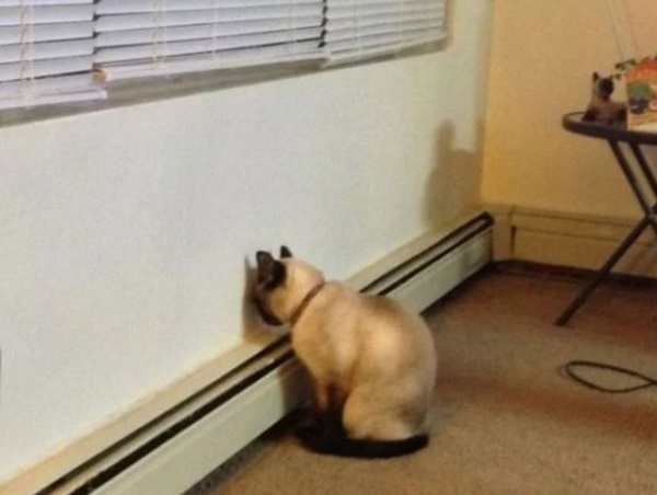 Strange Cat Staring at a Wall