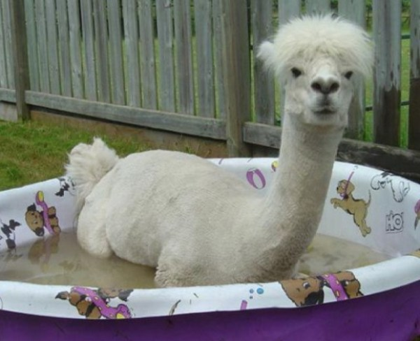 Alpaca in paddling pool