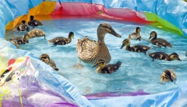 Ducks in paddling pool