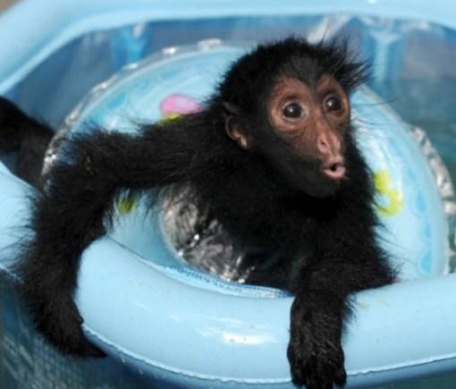 Baby spider monkey in paddling pool