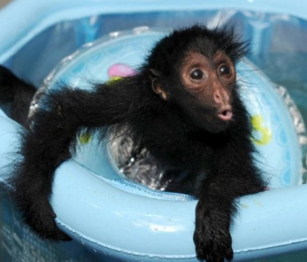 Baby spider monkey in paddling pool