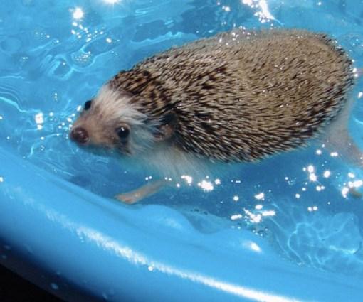 Hedgehog in paddling pool