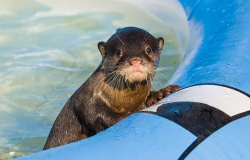 Otter in paddling pool