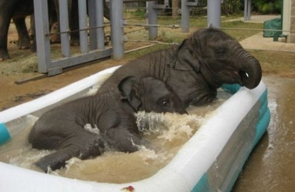 Baby Elephants in paddling pool