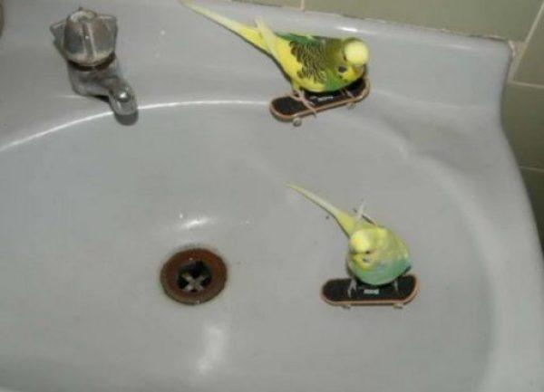 Budgies Skateboarding in a Sink