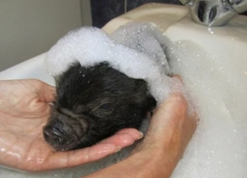 Micro pig in a Sink