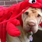 Ten Claw-snapping Funny Dogs Dressed as Lobsters