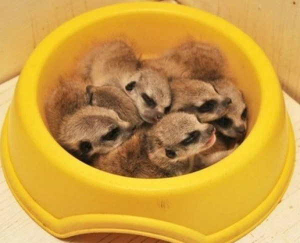 Meerkats Asleep in Food Bowl