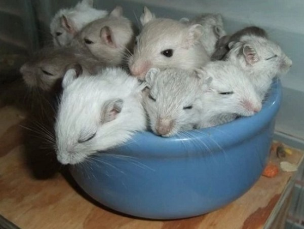 Gerbils Asleep in Food Bowl