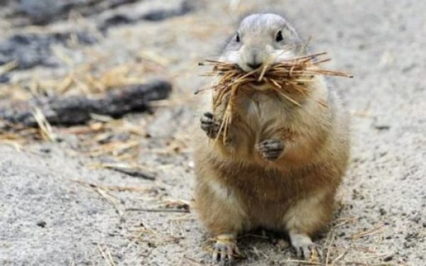 prairie dog with a mouthful of straw