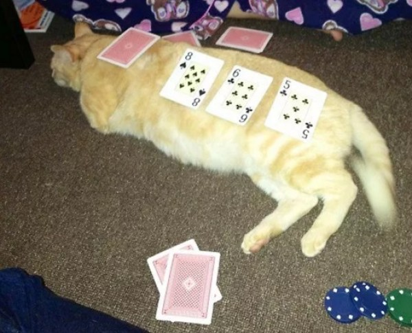 Cat Used as a Card Table