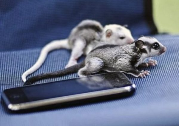 Sugar gliders using a phone