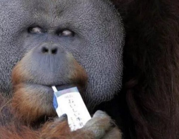 Sumatran orangutan using a drinking straw