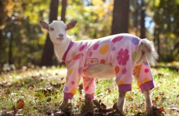 Goat in Pyjamas