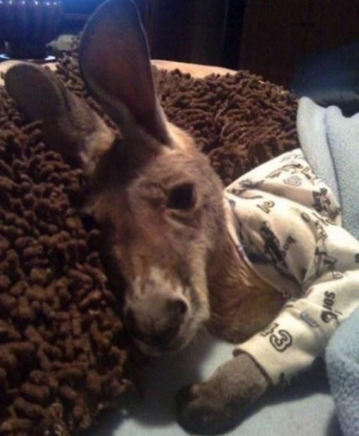 Kangaroo in Pajamas