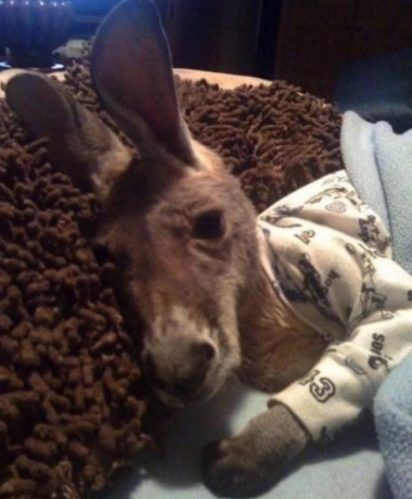 Kangaroo in Pyjamas