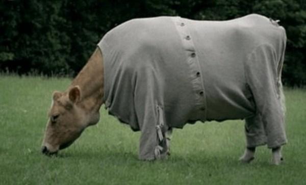 Cow in Pyjamas