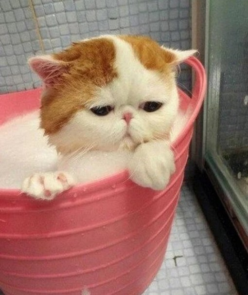 Cat having a bath
