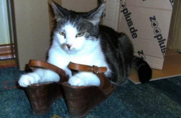 Cat Wearing Shoes