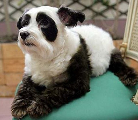 Top 10 Dogs That Look Like Pandas