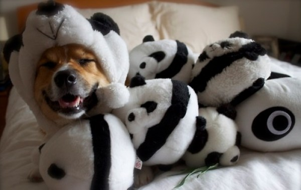Ten Cute and Cuddly Dogs Who Look Like Giant Pandas