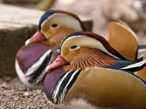 Identical Twin Ducks