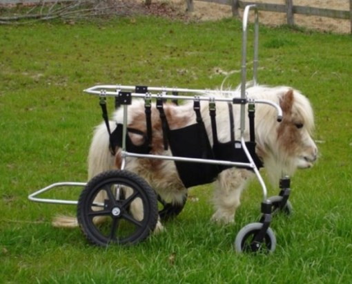 Miniature Horse in a wheelchair