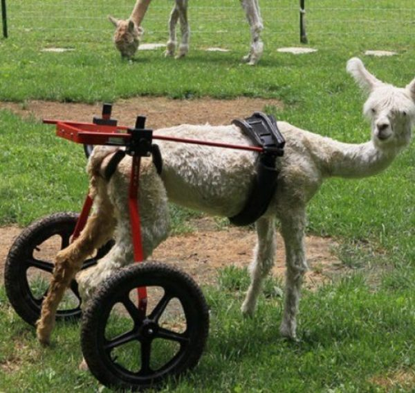 alpaca in a wheelchair