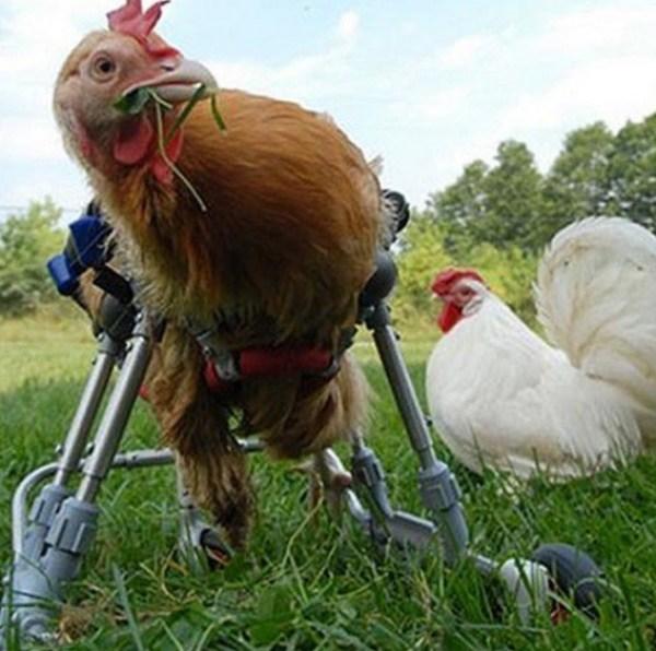 chicken in a wheelchair
