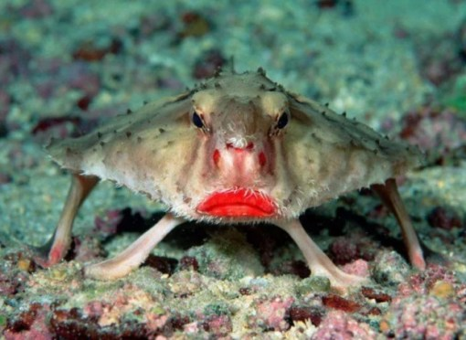 Grumpy Looking red-lipped batfish