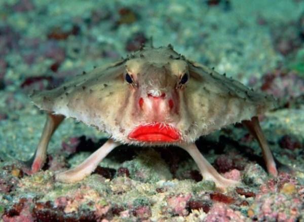 Grumpy Looking red-lipped batfish