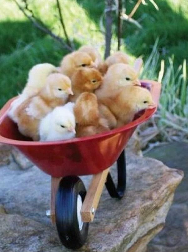 Chicks in a wheelbarrow