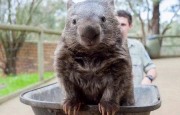 Wombat in a wheelbarrow