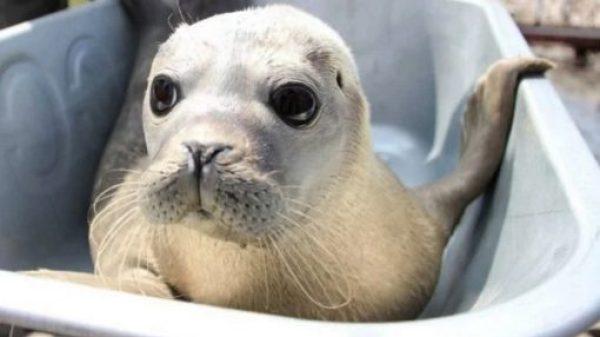 Seal in a wheelbarrow