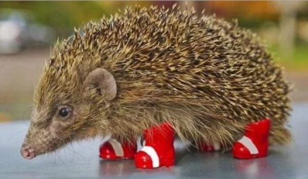 Hedgehog Wearing Shoes
