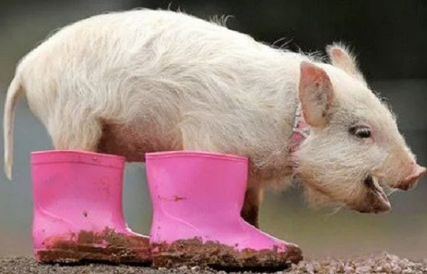 Pig Wearing Shoes