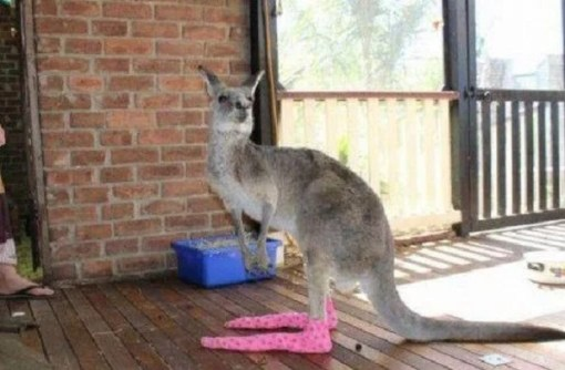 Kangaroo wearing socks